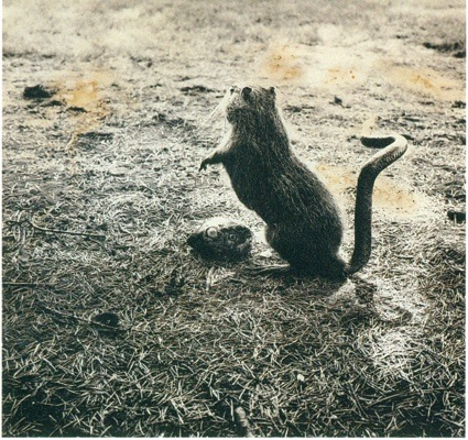 0Fauna.-Myodorifera-Colubercauda.1985-1989-1024x964.jpg