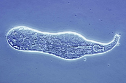 0rotifer internal.jpg