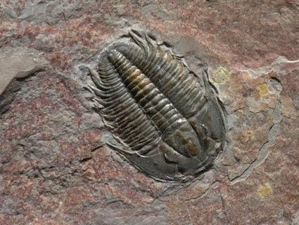 0trilobite-fossil_1262_990x742.jpg