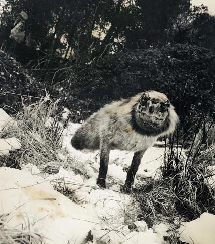 Alopex Stultus from the Fauna series by Joan Fontcuberta and Pere Formiguera, 1987 ∏ Joan Fontcuberta.jpg