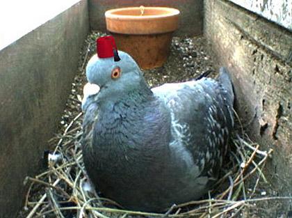 pigeoncam1.jpg